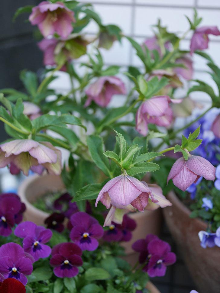 オリエンタリス 紫のシングルの花がたくさん咲いた。2021年-051.jpg