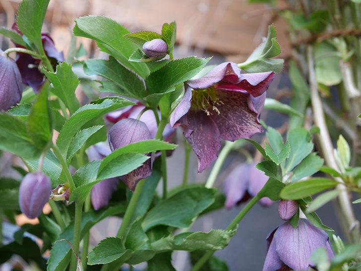 オリエンタリス 紫のシングルの花がたくさん咲いた。2021年-053.jpg