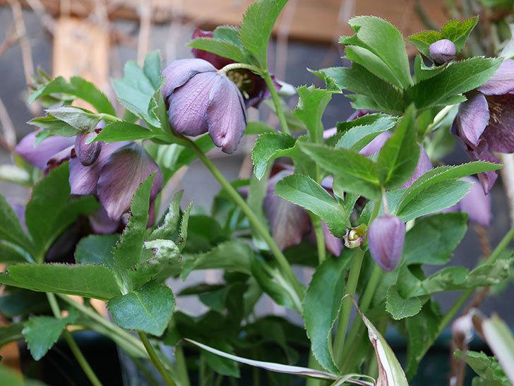 オリエンタリス 紫のシングルの花がたくさん咲いた。2021年-055.jpg