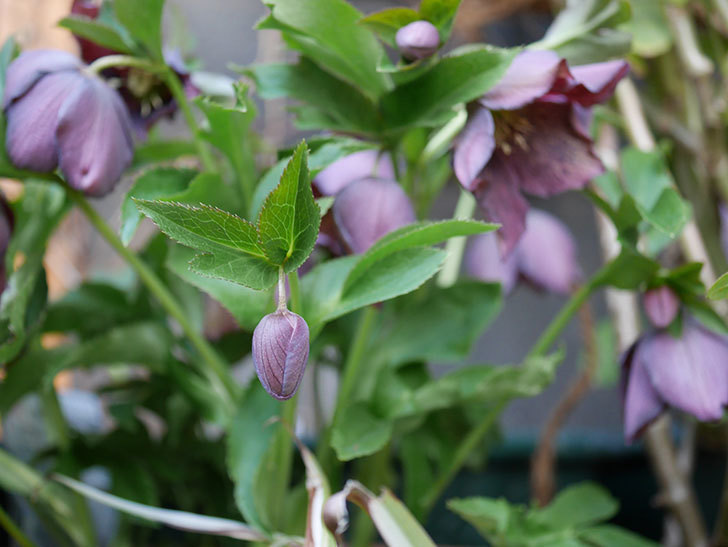 オリエンタリス 紫のシングルの花がたくさん咲いた。2021年-057.jpg
