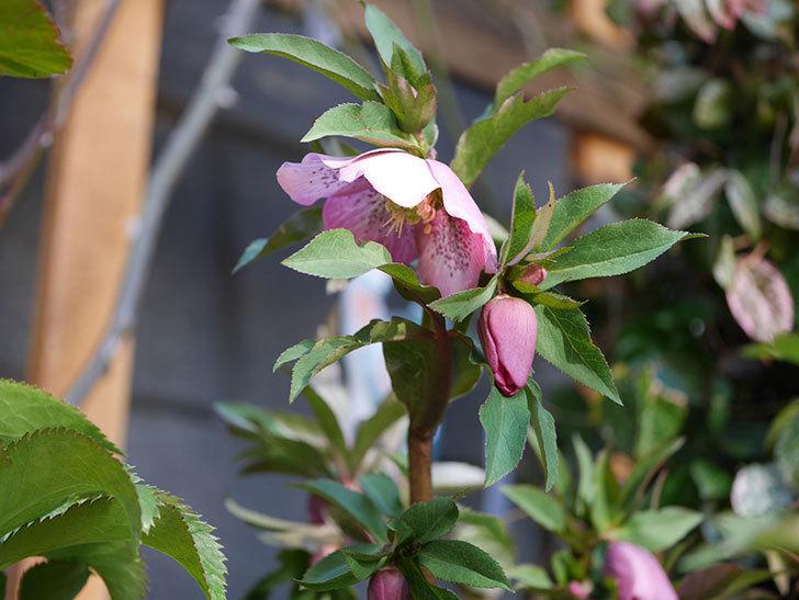 オリエンタリス 紫のシングルの花がたくさん咲いた。2021年-061.jpg
