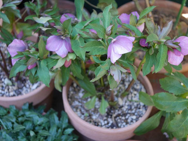 オリエンタリス 紫のシングルの花がたくさん咲いた。2021年-062.jpg