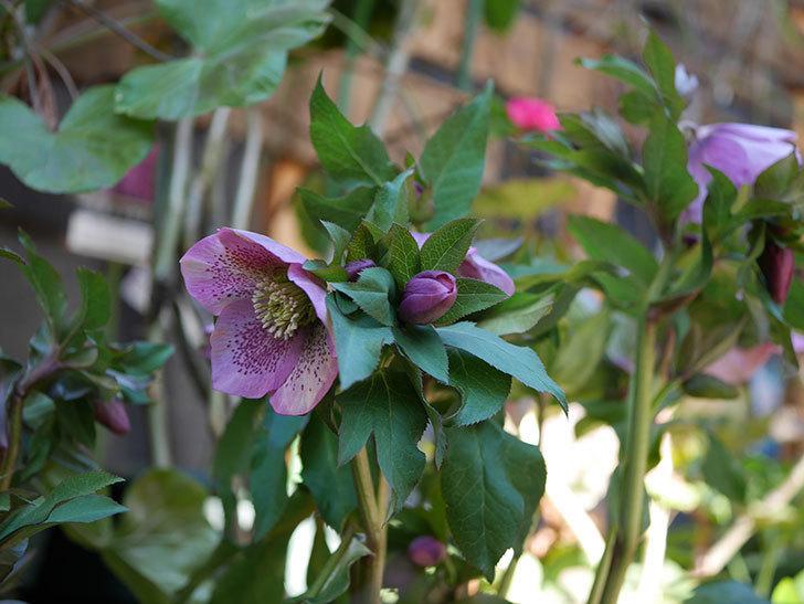 オリエンタリス 紫のシングルの花がたくさん咲いた。2021年-067.jpg