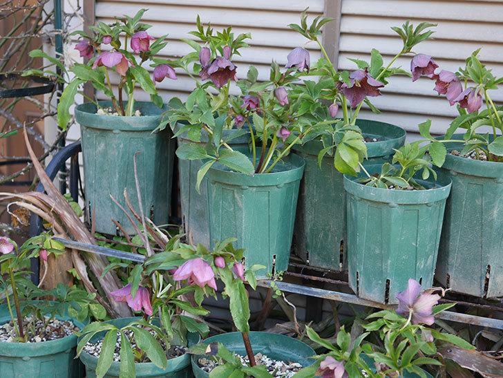 オリエンタリス 紫のシングルの花がたくさん咲いた。2021年-069.jpg