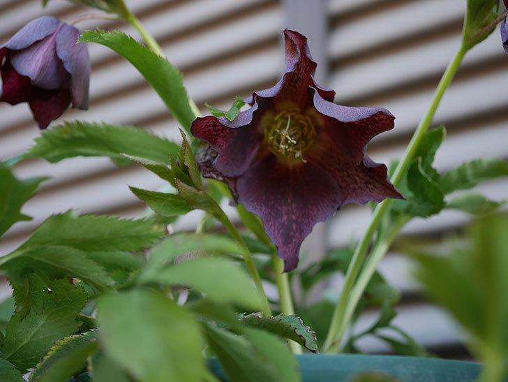 オリエンタリス 紫のシングルの花がたくさん咲いた。2021年-070.jpg