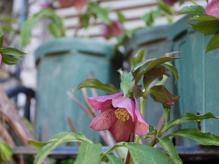 オリエンタリス 紫のシングルの花がたくさん咲いた。2021年-072.jpg