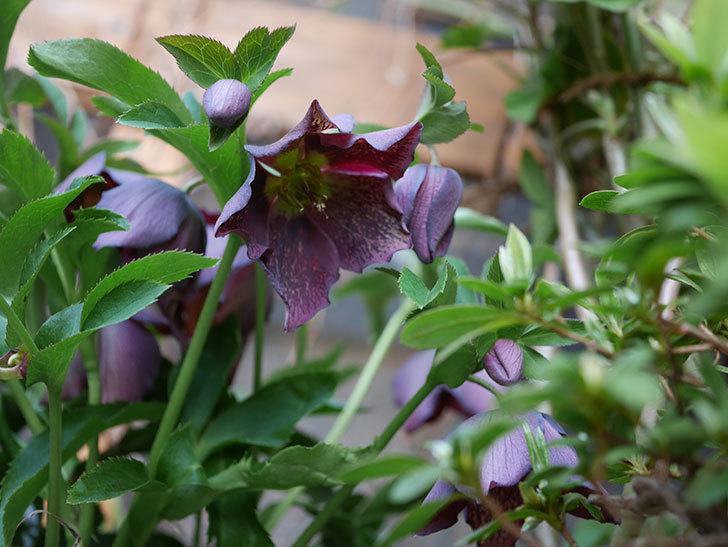 オリエンタリス 紫のシングルの花がたくさん咲いた。2021年-073.jpg