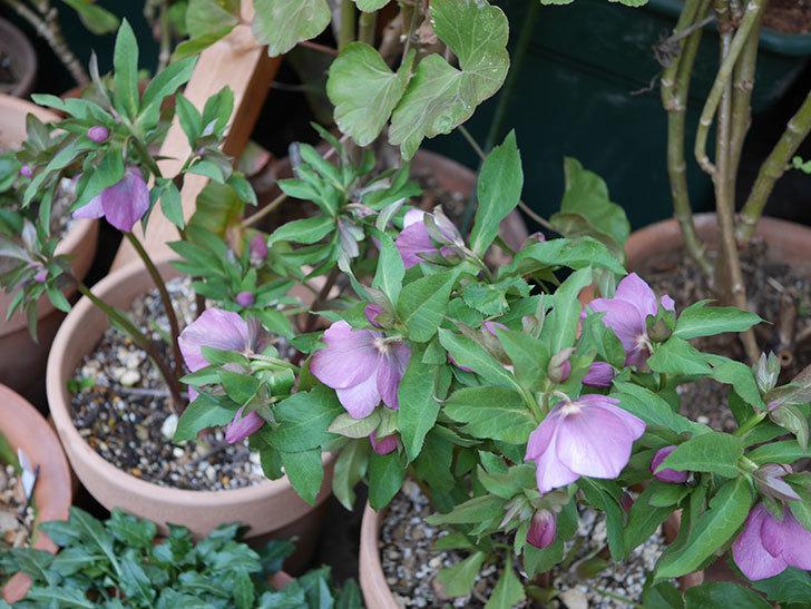 オリエンタリス 紫のシングルの花がたくさん咲いた。2021年-074.jpg