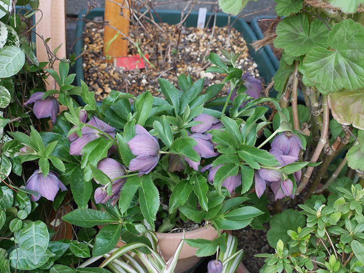 オリエンタリス 紫のシングルの花がたくさん咲いた。2021年-075.jpg