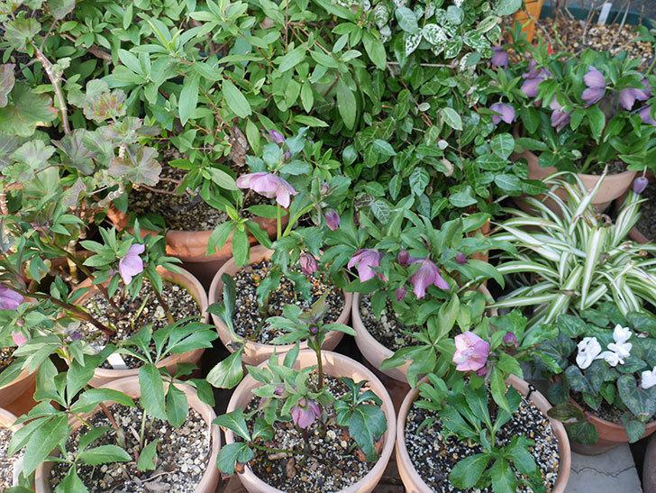 オリエンタリス 紫のシングルの花がたくさん咲いた。2021年-076.jpg