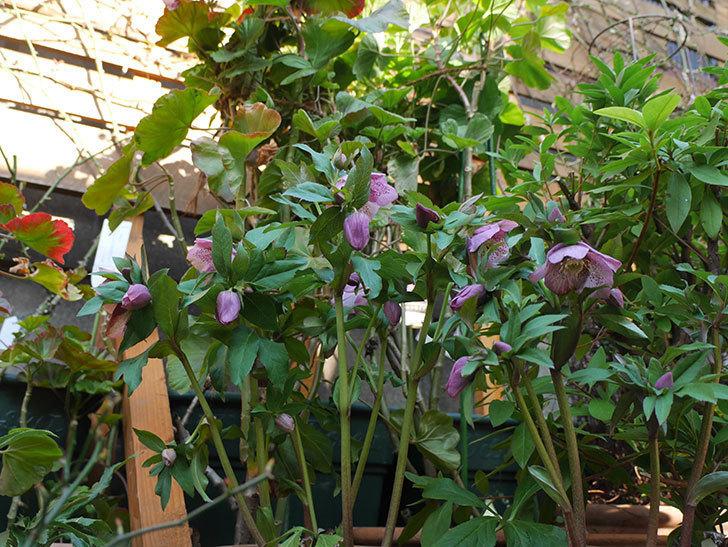 オリエンタリス 紫のシングルの花がたくさん咲いた。2021年-077.jpg