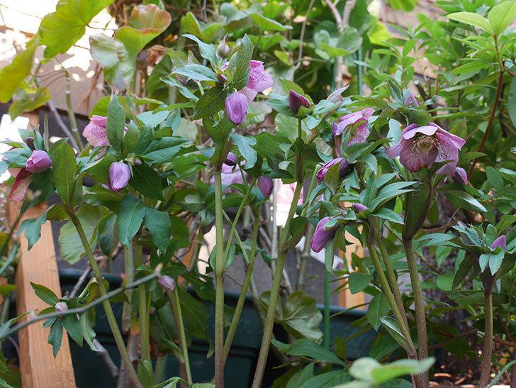 オリエンタリス 紫のシングルの花がたくさん咲いた。2021年-078.jpg