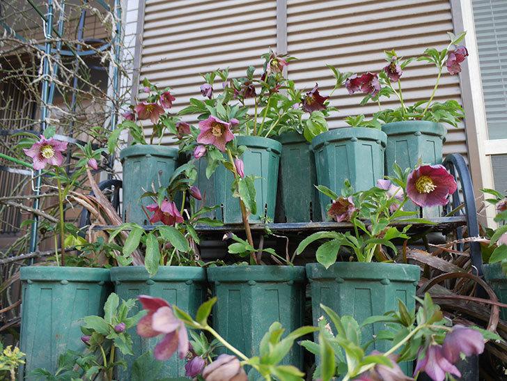オリエンタリス 紫のシングルの花がたくさん咲いた。2021年-079.jpg
