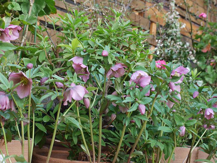 オリエンタリス 紫のシングルの花がスゲー咲いた。2021年-003.jpg