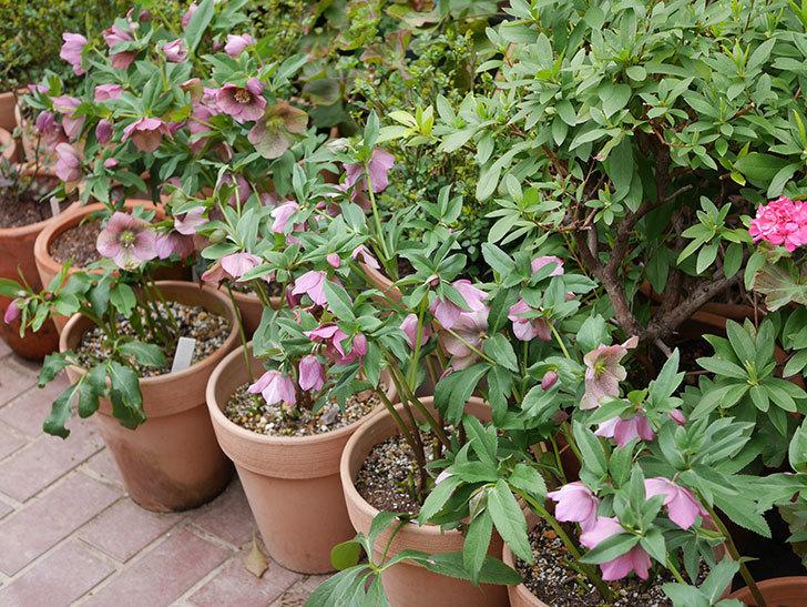 オリエンタリス 紫のシングルの花がスゲー咲いた。2021年-015.jpg
