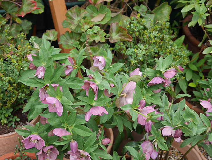 オリエンタリス 紫のシングルの花がスゲー咲いた。2021年-016.jpg