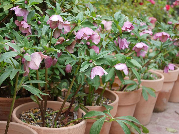 オリエンタリス 紫のシングルの花がスゲー咲いた。2021年-020.jpg