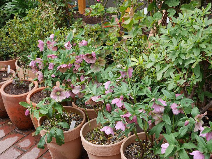 オリエンタリス 紫のシングルの花がスゲー咲いた。2021年-021.jpg
