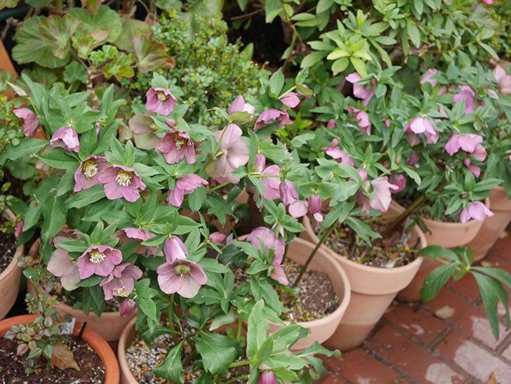 オリエンタリス 紫のシングルの花がスゲー咲いた。2021年-022.jpg
