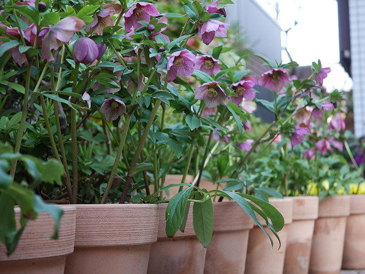 オリエンタリス 紫のシングルの花がスゲー咲いた。2021年-036.jpg