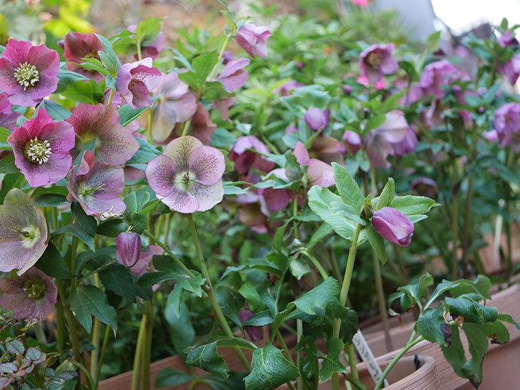 オリエンタリス 紫のシングルの花がスゲー咲いた。2021年-037.jpg
