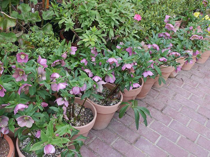 オリエンタリス 紫のシングルの花がスゲー咲いた。2021年-039.jpg