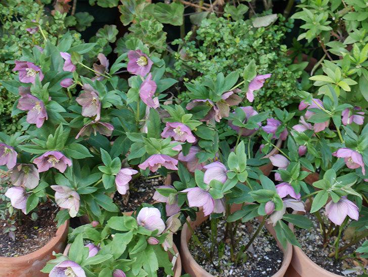 オリエンタリス 紫のシングルの花がスゲー咲いた。2021年-043.jpg