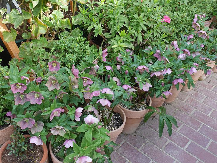 オリエンタリス 紫のシングルの花がスゲー咲いた。2021年-044.jpg