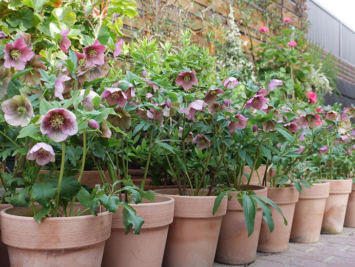 オリエンタリス 紫のシングルの花がスゲー咲いた。2021年-045.jpg