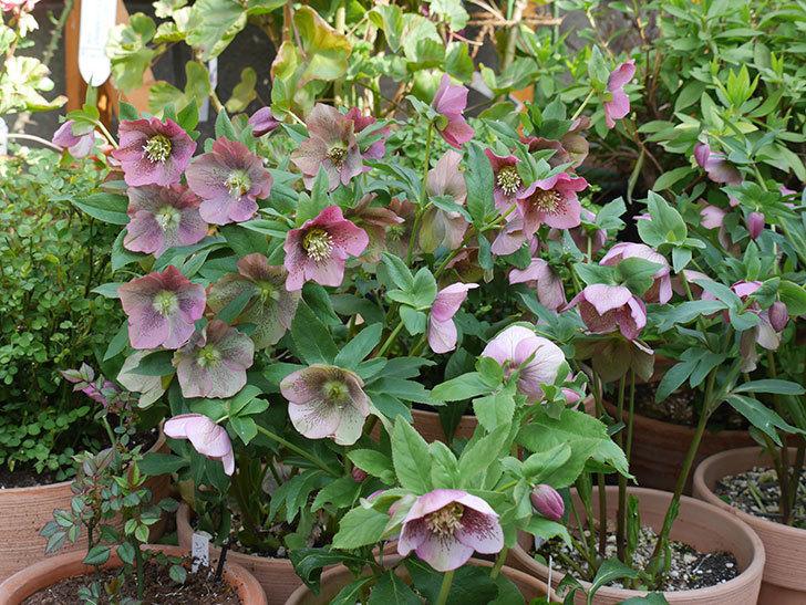 オリエンタリス 紫のシングルの花がスゲー咲いた。2021年-046.jpg