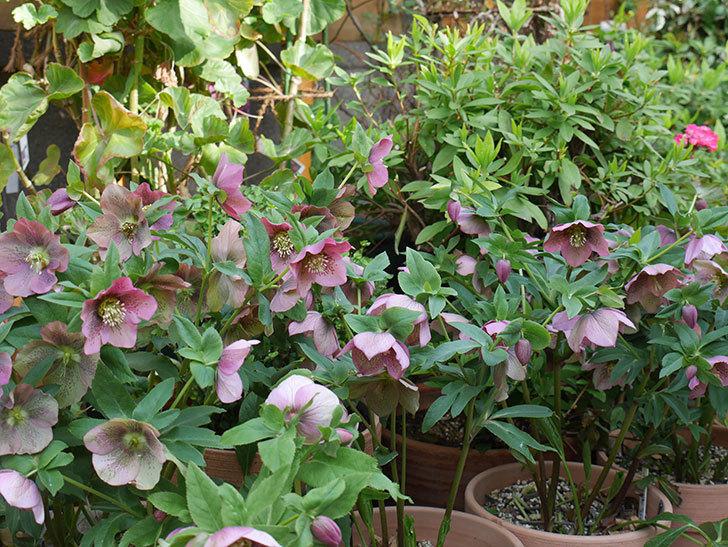オリエンタリス 紫のシングルの花がスゲー咲いた。2021年-047.jpg