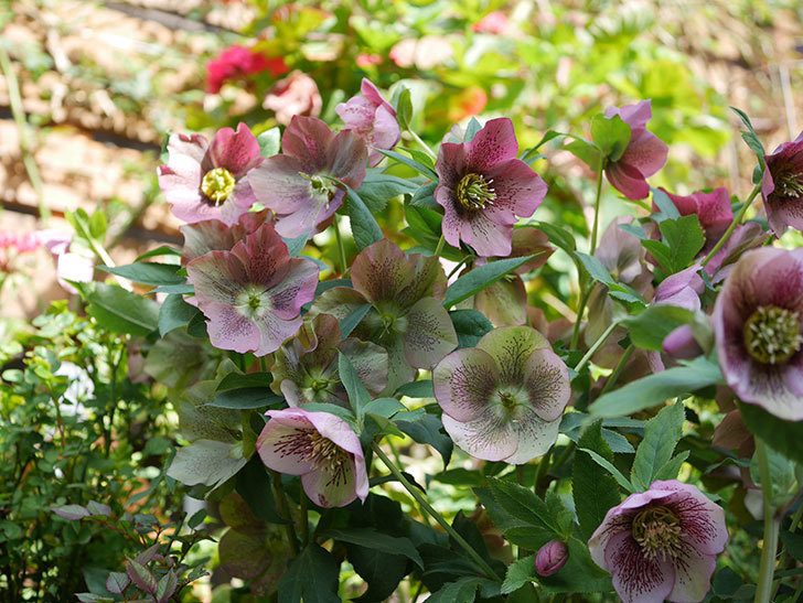 オリエンタリス 紫のシングルの花がスゲー咲いた。2021年-049.jpg