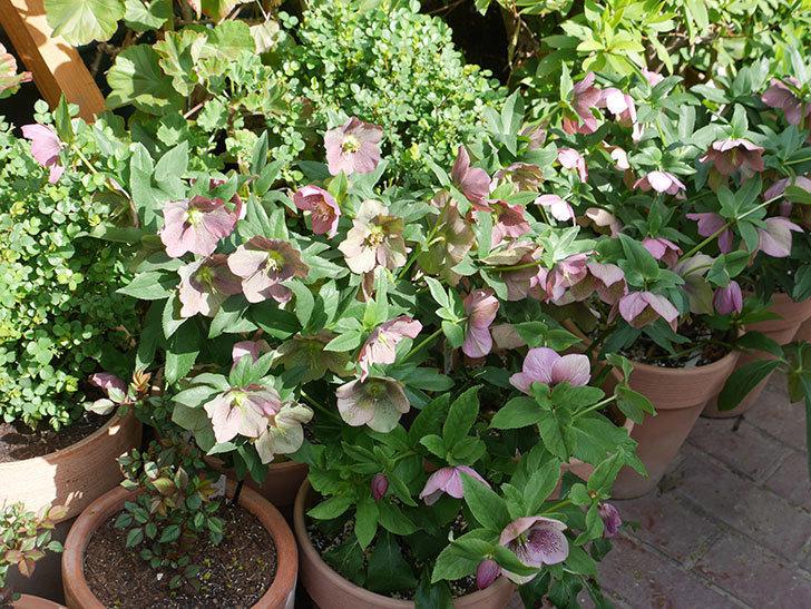 オリエンタリス 紫のシングルの花がスゲー咲いた。2021年-051.jpg