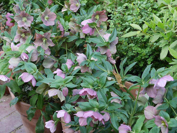 オリエンタリス 紫のシングルの花がスゲー咲いた。2021年-057.jpg