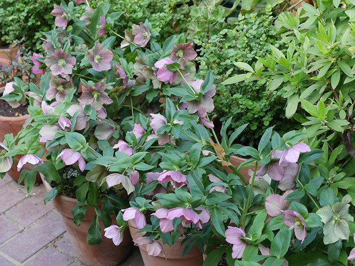 オリエンタリス 紫のシングルの花がスゲー咲いた。2021年-058.jpg
