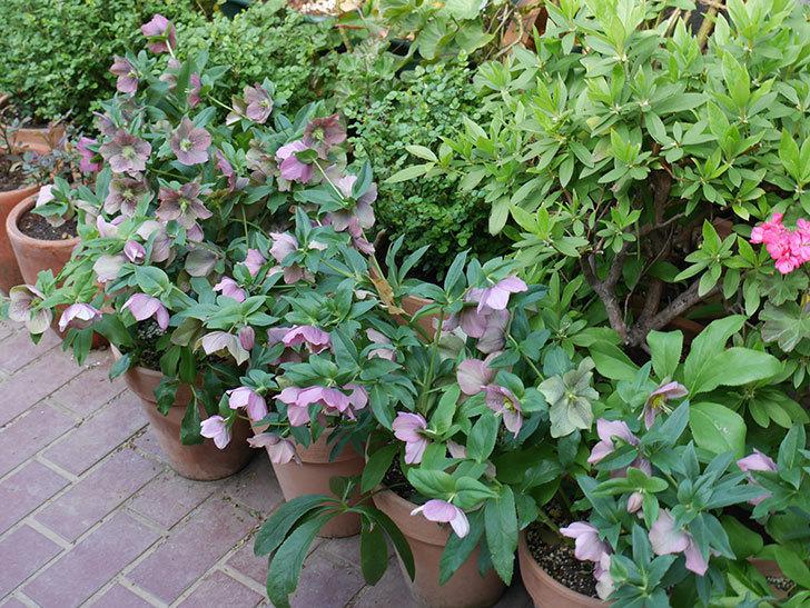 オリエンタリス 紫のシングルの花がスゲー咲いた。2021年-059.jpg