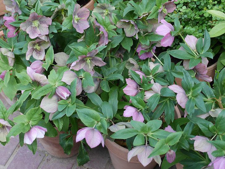 オリエンタリス 紫のシングルの花がスゲー咲いた。2021年-060.jpg