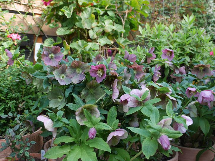 オリエンタリス 紫のシングルの花がスゲー咲いた。2021年-063.jpg