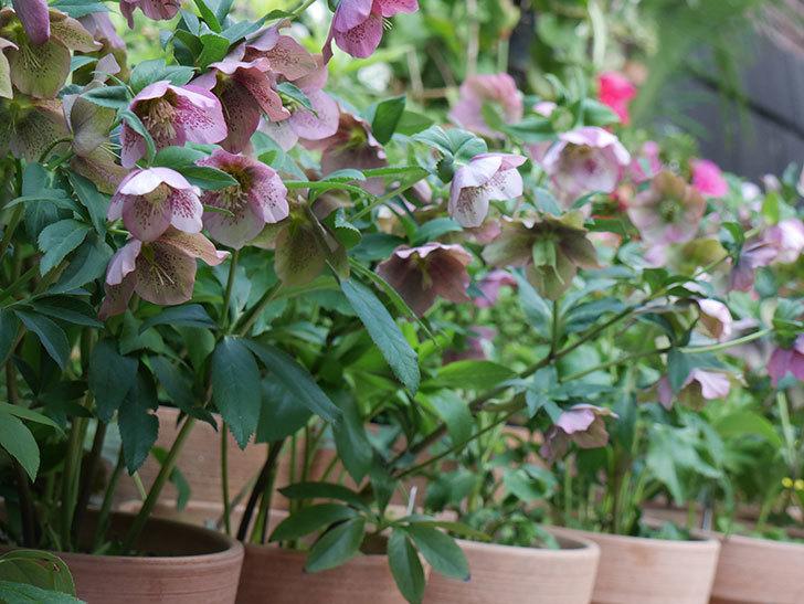 オリエンタリス 紫のシングルの花がスゲー咲いた。2021年-065.jpg