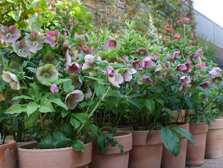 オリエンタリス 紫のシングルの花がスゲー咲いた。2021年-067.jpg