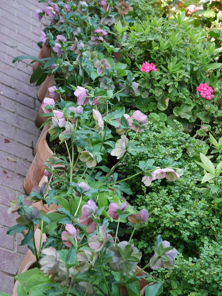 オリエンタリス 紫のシングルの花がスゲー咲いた。2021年-068.jpg