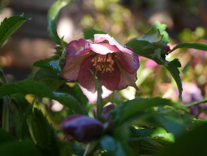 オリエンタリス 紫のシングルの花が増えてきた。2021年-015.jpg