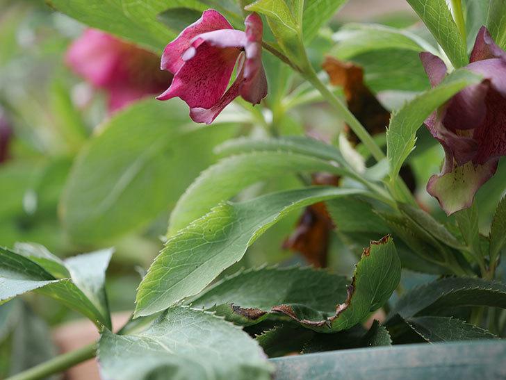 オリエンタリス 紫のシングルの花が更に咲いた。2021年-001.jpg