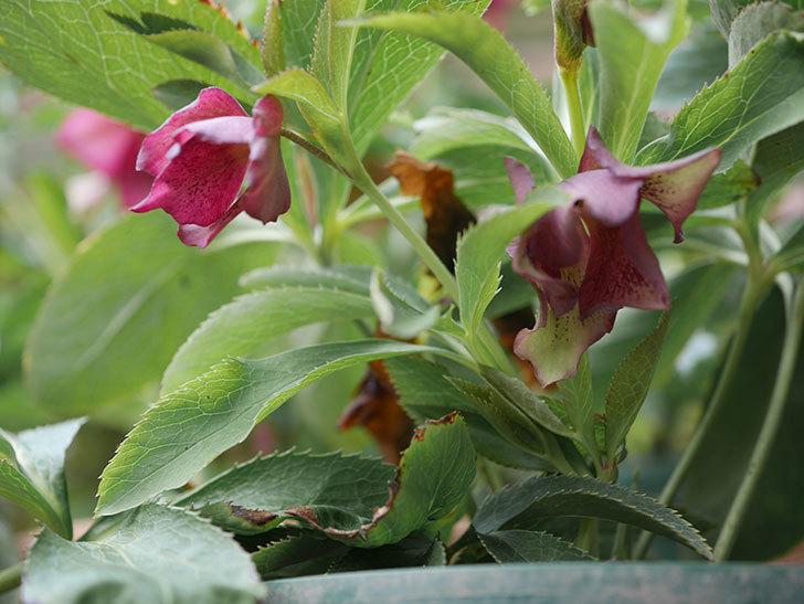 オリエンタリス 紫のシングルの花が更に咲いた。2021年-002.jpg