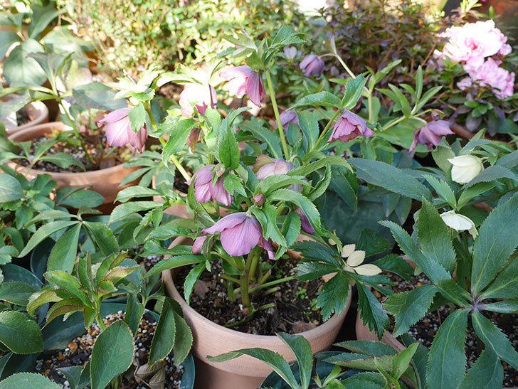 オリエンタリス 紫のシングルの花が更に咲いた。2021年-016.jpg