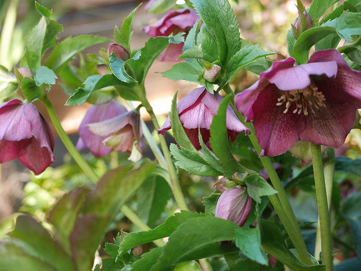 オリエンタリス 紫のシングルの花が更に咲いた。2021年-019.jpg