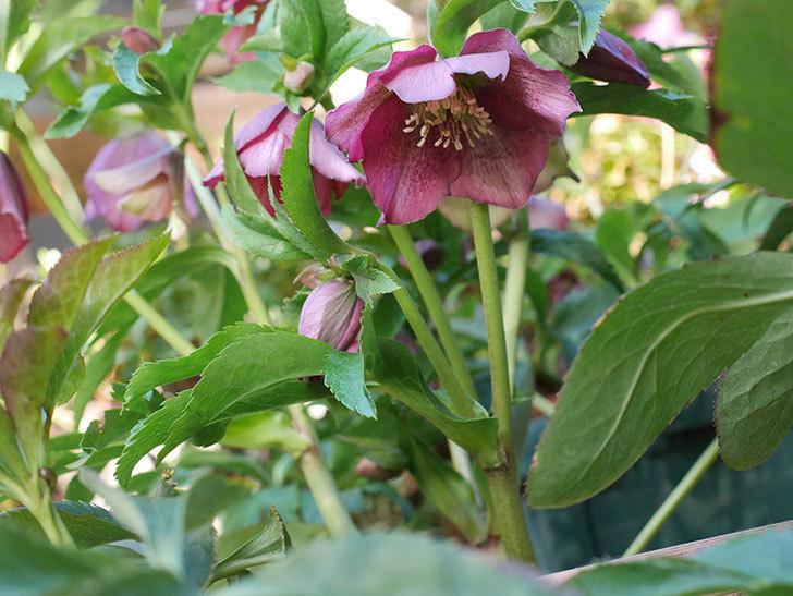 オリエンタリス 紫のシングルの花が更に咲いた。2021年-021.jpg