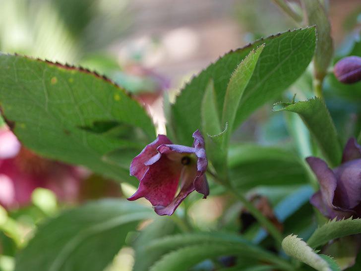 オリエンタリス 紫のシングルの花が更に咲いた。2021年-027.jpg