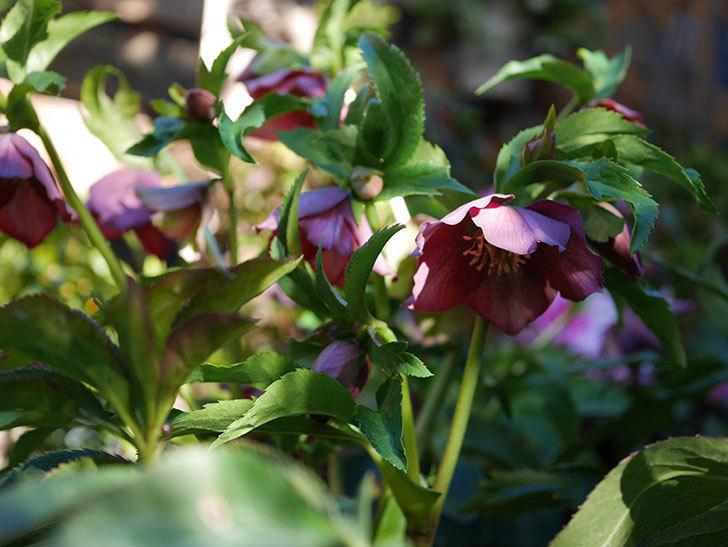 オリエンタリス 紫のシングルの花が更に咲いた。2021年-031.jpg