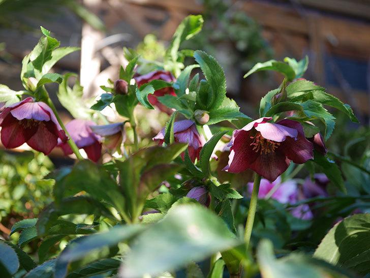オリエンタリス 紫のシングルの花が更に咲いた。2021年-032.jpg